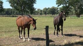 Cavalli di Brown Hanoverian che pascono video d archivio