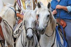 Cavalli di Camargue fotografia stock