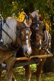 Cavalli di cambiale Immagine Stock