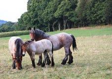 Cavalli di cambiale belgi Fotografie Stock Libere da Diritti