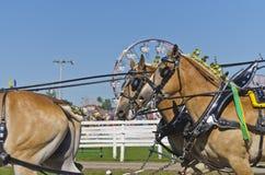 Cavalli di cambiale belgi al paese giusto Immagini Stock Libere da Diritti
