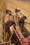 Cavalli di cambiale di funzionamento. immagine stock libera da diritti