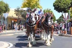 Cavalli di cambiale sulla parata Immagine Stock