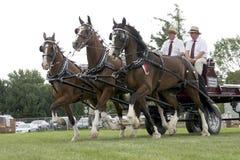 Cavalli di cambiale triplici del legamento alla fiera agricola Fotografia Stock