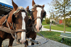 Cavalli di carrello sull'isola di Herrenchiemsee Immagine Stock Libera da Diritti