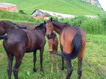Cavalli di Cherkess Immagine Stock