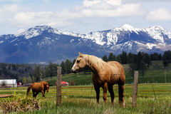 Cavalli di Colorado fotografie stock libere da diritti