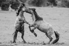 Cavalli di combattimento Fotografie Stock Libere da Diritti