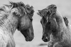 Cavalli di combattimento Fotografia Stock