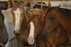 Cavalli di corsa in scuderia Fotografie Stock Libere da Diritti