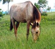 Cavalli di Cuba Immagini Stock