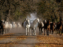 Cavalli di galoppo Fotografie Stock Libere da Diritti