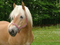Cavalli di Harflinger immagini stock