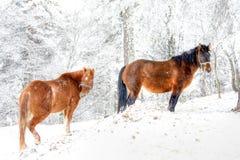 Cavalli di inverno Fotografia Stock