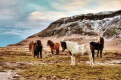 Cavalli di inverno dell'Islanda fotografia stock