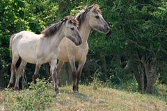 Cavalli di Konik Immagine Stock
