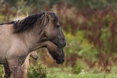 Cavalli di Konik Immagine Stock Libera da Diritti