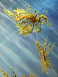 Cavalli di mare del drago Immagine Stock