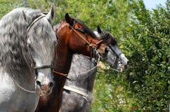 Cavalli di parata Immagini Stock