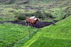 Cavalli di Przewalski's nel prato Fotografie Stock