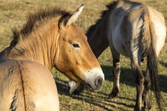 Cavalli di Przewalski Fotografia Stock