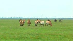 Cavalli di Przewalski che pascono nell'erba del deserto in primavera video d archivio