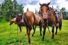 Cavalli di riposo Fotografia Stock