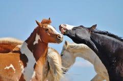 Cavalli di risata Immagine Stock Libera da Diritti