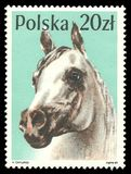 Cavalli di serie, cavallo arabo Fotografie Stock