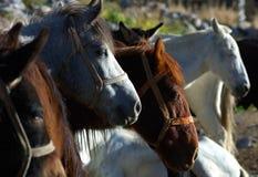 Cavalli di Trekker Fotografie Stock Libere da Diritti