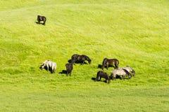 Cavalli divertenti nei campi dell'Islanda Fotografie Stock Libere da Diritti