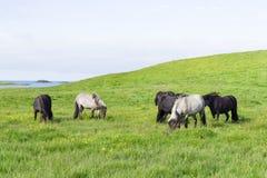 Cavalli divertenti nei campi dell'Islanda Fotografia Stock Libera da Diritti