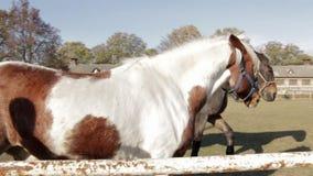 Cavalli divertenti sul movimento lento del pascolo stock footage