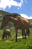 cavalli due immagine stock
