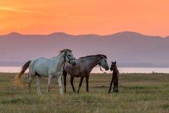 Cavalli e bello tramonto Fotografie Stock Libere da Diritti