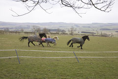 Cavalli e cavallini galoppanti Immagine Stock Libera da Diritti