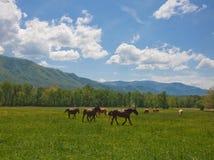 Cavalli e montagne Fotografia Stock