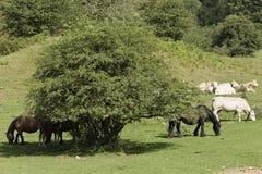Cavalli e mucche che pascono in un prato di Navarra Fotografie Stock