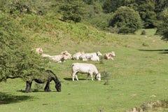 Cavalli e mucche che pascono in un prato di Navarra Fotografia Stock