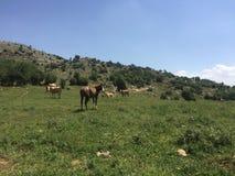 Cavalli e mucche nel prato immagini stock libere da diritti