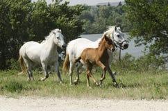 Cavalli e puledro galoppanti dei cavalli Fotografie Stock