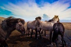 Cavalli e vulcano islandesi   Fotografie Stock Libere da Diritti