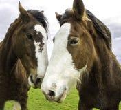 Cavalli felici di Sonoma, California Immagine Stock