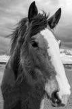 Cavalli felici di Sonoma, California Fotografia Stock