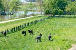 Cavalli frisoni in pascolo verde Fotografia Stock