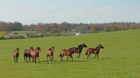 Cavalli galoppanti Immagini Stock Libere da Diritti
