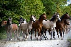 Cavalli galoppanti al pascolo Fotografia Stock