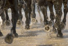 Cavalli galoppanti sulla sabbia Fotografia Stock
