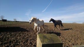 Cavalli galoppanti in un campo Fotografie Stock