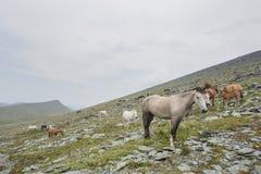 Cavalli gregge, paesaggio di Altai della montagna Immagine Stock